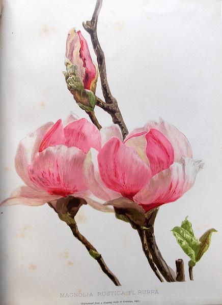 Magnolia 'Rustica Rubra'