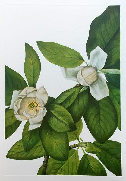 Sweetbay (Magnolia virginiana)
