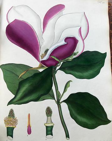 Purple-flowered magnolia (Magnolia purpurea)