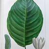 Cucumber tree (Magnolia acumunata)