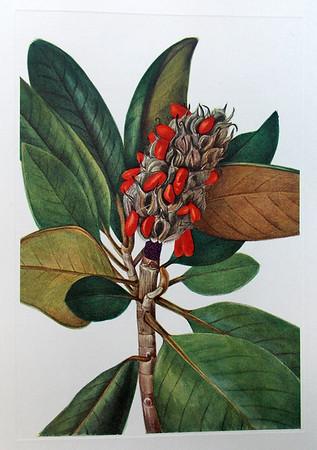 Southern magnolia seeds (Magnolia grandiflora)