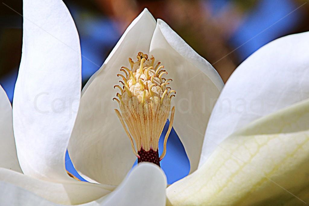 Magnolia Prayer