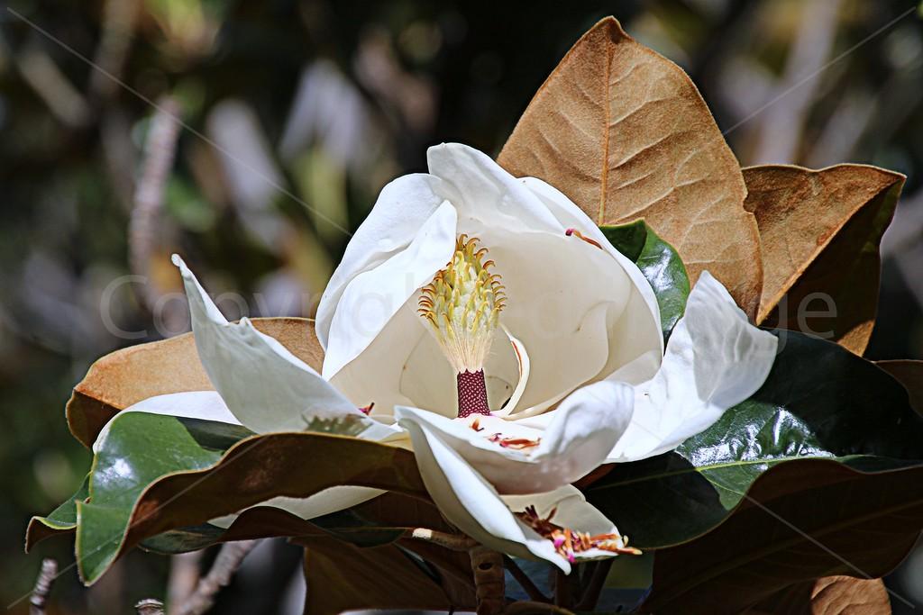 Magnolia Gigantum