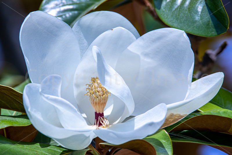 July Magnolia