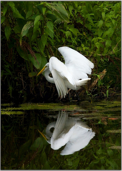 The Egret takes off