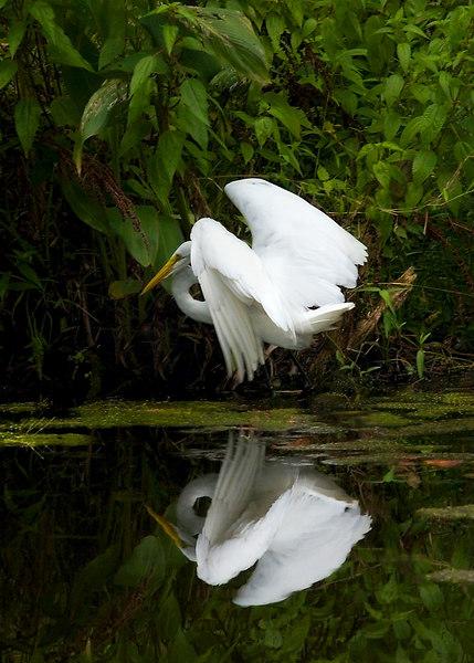 Vertical version: egret