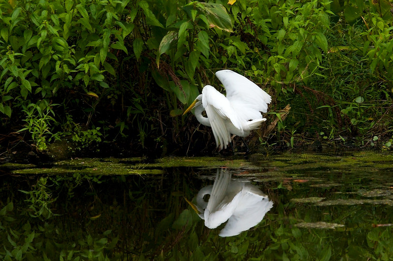A horizontal version of the top shot: the egret taking off.