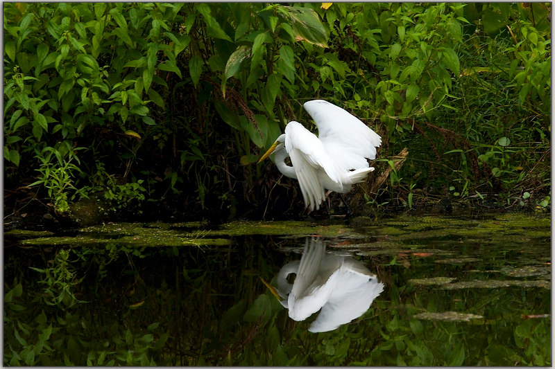 a border on a horizontal version of the top shot: the egret taking off