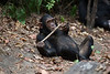 Chimpanzee - Mahale National Park, Tanzania