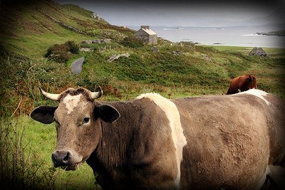 Inishbofin Cow, Connemara, Ireland