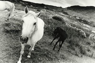 Connemara Ponies 1, Roundstone