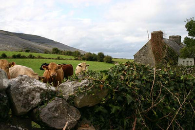 Bealaclugga Cows, the Burren