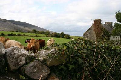 Bealaclugga Cows, the Burren