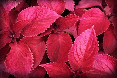 Hot Pink Coleus