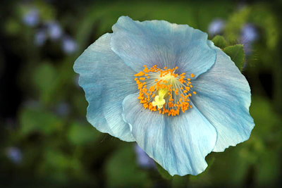 Blue Himalayan Poppy 2