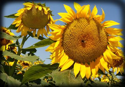 Sunflowers CARD copy