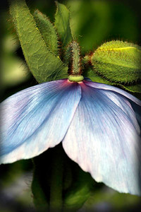 Blue Himalayan Poppy