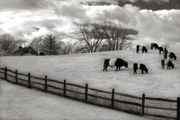 Oreo Cows, Centreville, Delaware