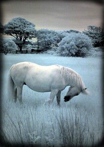 """Bo's Pony, 10 p.m., Clifden, Ireland"", infrared photograph"