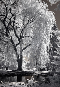 """The Willow at Longwood"", infrared photograph"