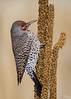 Red-shafted Northern Flicker, Rocky Mountain Arsenal NWR