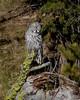 Great Gray Owl, Yellowstone NP