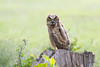 Juvenile Great Horned Owl, Great Salt Plains SP