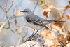 Mockingbird, Texas