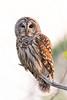 Barred Owl, Hagerman NWR