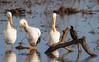 American White Pelicans, Hagerman NWR