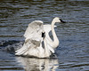 Trumpeter Swans, Yellowstone River