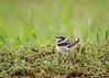 Killdeer chick, Texas
