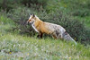 Red Fox, Rocky Mountain NP