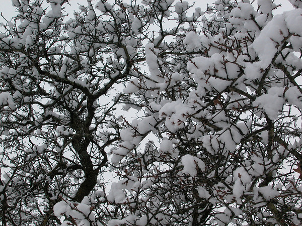 Cotton Snow on Oak Tree