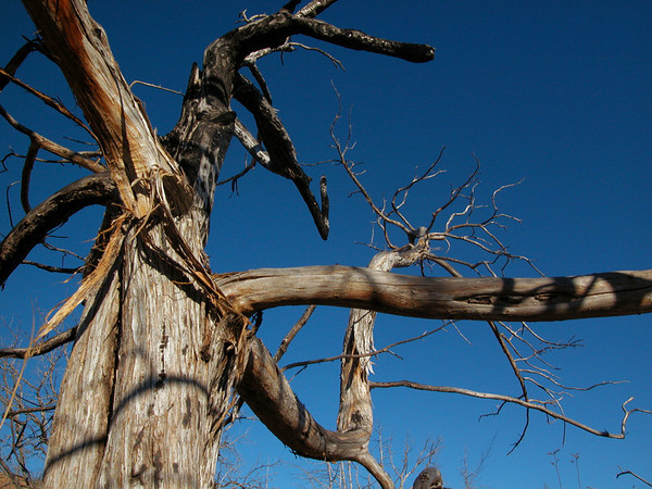 Medicine Man Tree