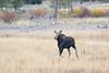 Cow Moose, Yellowstone NP
