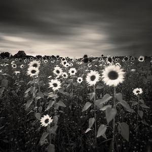 Sunflowers, Gloucestershire, England