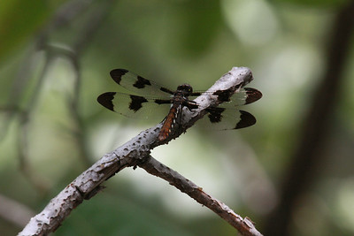Dragonfly In The Woods