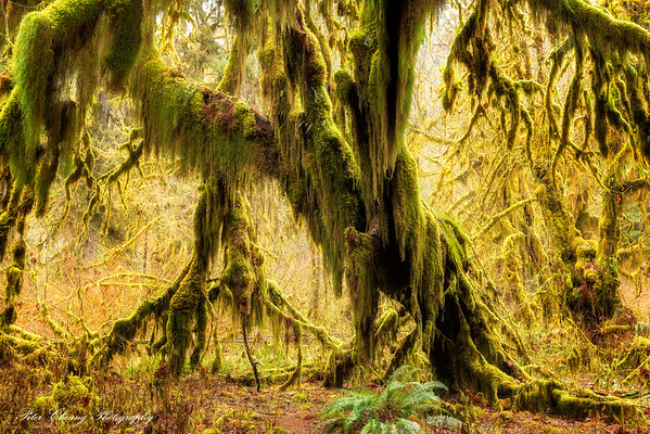 Hoh Rainforest in Olympic National Park, WA