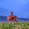 A small deer in Hurricane Ridge