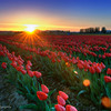 Sunset at Skagit Valley's Tulip Farm