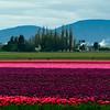 Tulips festival in Skagit Valley