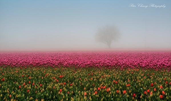 Tulip Festival in Skagit Valley, Washington