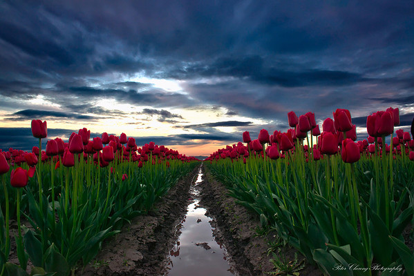 Tulips festival in Skagit Valley