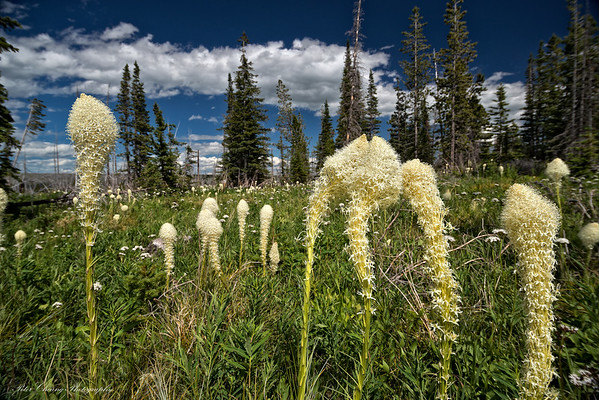 Bear Grass in Glacier National Park