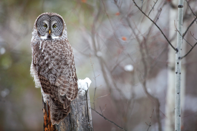 A Great Grey Owl perches in the snow in Jackson Hole, Wyoming