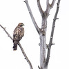 A Juvenile Red Tailed Hawk Waits for Prey on a Dead Tree. Grand Teton National Park, Wyoming