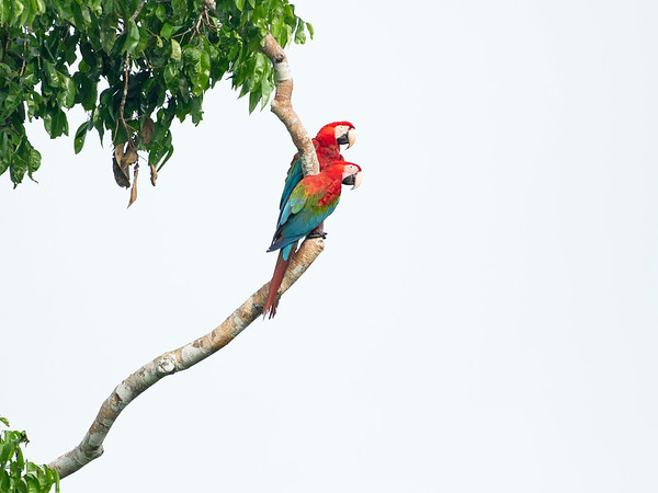 Pair of Macaws, Madre de Dios