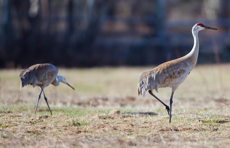 A Pair of Sandhill Cranes. Teton Village, Wyoming. 2016