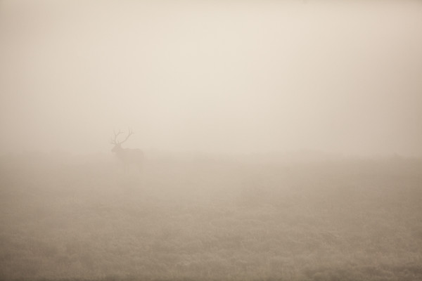 Bull Elk in the Mist. Grand Teton National Park. 2016